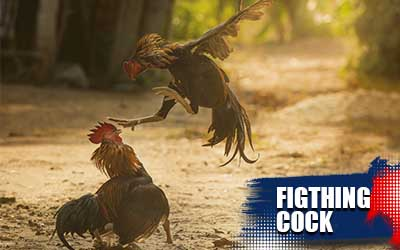 Fighting-Cock